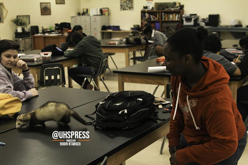 """After finding the ferret rummaging around in his backpack, sophomore Milo Clarke finds himself playing a quick game of hide-and-go-seek with the animal instead. """"So the ferret is not mine, it belongs to the program actually,"""" Clarke said. """"He just likes to go inside of the different backpacks and whatnot as an exploration thing. I don't really know the science behind that, but it's really cool… The ferret's name is OG and I think it stands for 'Original Gangster'. Not entirely sure about that either, but yeah, that's his name. OG… But the main reason for me being in the class isn't just for the ferret, I really wanted to learn more about the environment so to speak. And because of what I'm planning to do when I get older for a career. I just love working around animals and plants because animals are cute and plants are satisfying and therapeutic to be around."""""""